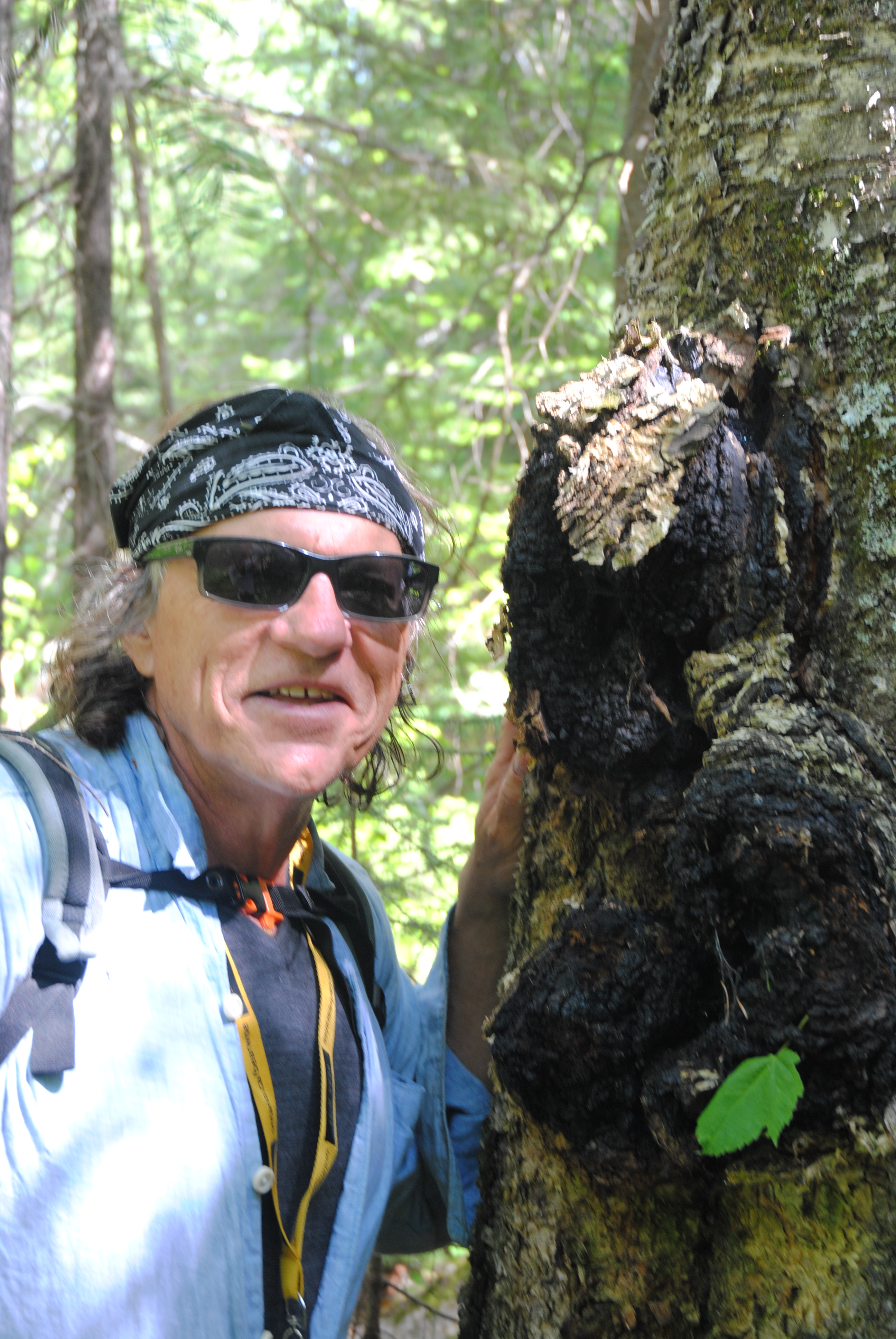 Chaga New Rage In Herbal Remedies North Bay Steer To