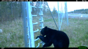 Black bear escapes through gate (2)