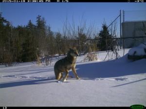 Overpass wolf. 8-Jan-15. 2 (2)